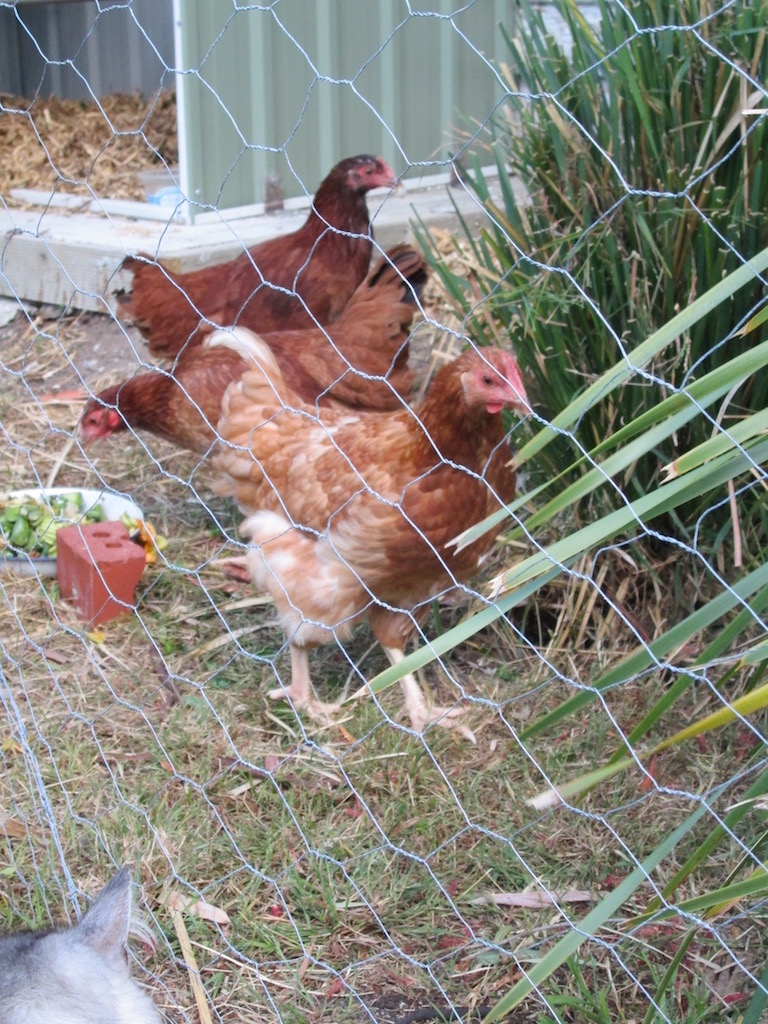 Three chickens behind wire netting