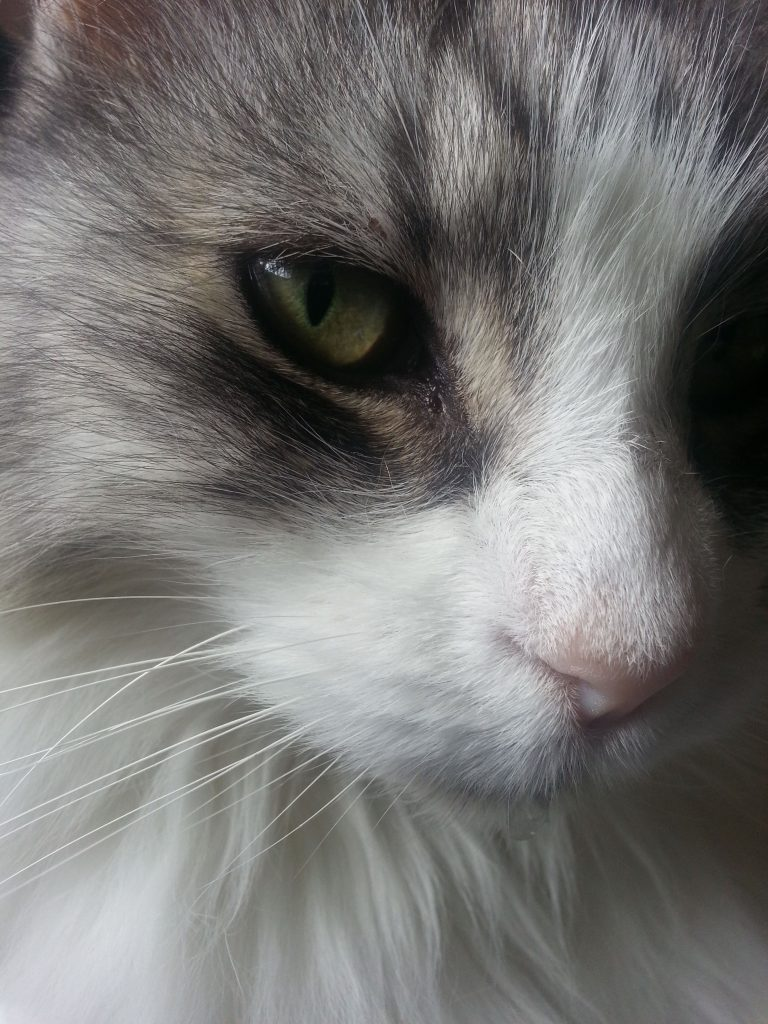 Closeup of cat's eye and nose.