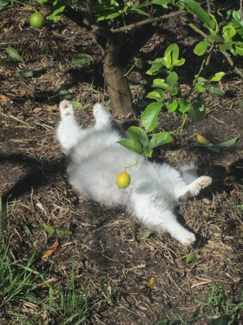 Cat lying on his back under lemon tree with his paws in the air.