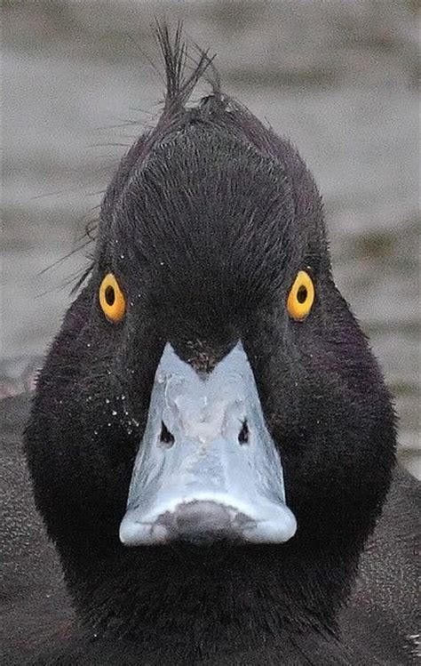 Black duck glaring at the camera.